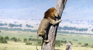 20 Tahun Lagi, Dunia Tak Bisa Lihat Singa Afrika