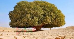 Subhanallah! Inilah Pohon Berusia 1400 Tahun Yang Jadi Saksi Kebesaran Nabi