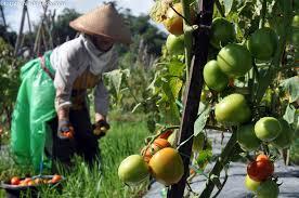Petani Tomat di Panyabungan Kesulitan Modal