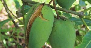 Ulat dan Pohon Mangga