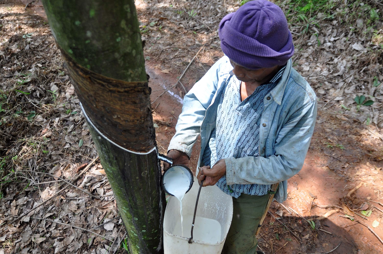 Pekerja mengumpulkan getah karet di kebun karet PT. Perkebunan Nusantara IX Selo Sabrang, Bejen, Temanggung, Jateng, Kamis (27/11). Gabungan Pengusaha Karet Indonesia (Gapkindo) memproyeksikan, volume ekspor karet tahun ini berpotensi di bawah target yaitu diperkirakan pada kisaran 2,5 juta ton-2,6 juta ton dari target yang ditetapkan sebelumnya yakni sekitar 2,7 juta ton. ANTARA FOTO/Anis Efizudin/ss/mes/14