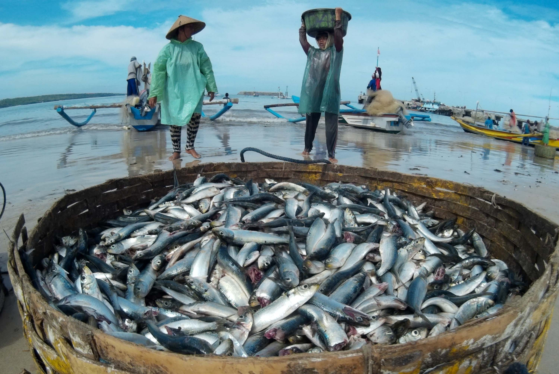 Pekerja mengangkut ikan Lemuru hasil tangkapan di Pantai Kelan, Bali, Jumat (12/12). Kondisi cuaca yang cenderung tidak stabil dan gelombang tinggi di kawasan Selat Bali membuat hasil tangkapan nelayan tidak menentu. ANTARA FOTO/Fikri Yusuf/ss/Spt/14