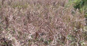 Tanaman Padi Diserang Penyakit Aneh, Penghasilan Petani di Ulu Pungkut Menurun