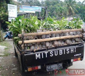 Bibit Kopi Arabika Mandailing Sumatra siap diantar ke masyarakat, dimana permintaan meningkat.