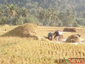 Petani di Mandailing Julu dihimbau tetap laksanakan tanam serentak.
