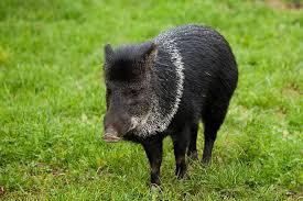 hama-babi-serang-tanaman-padi-masyarakat-di-kecamatan-siabu