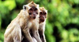 Asal Usul Cinta Monyet
