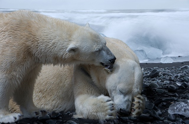 Bagaimana Beruang Kutub Beradaptasi di Suhu yang Dingin?