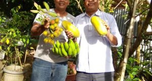 Berkat Pupuk Organik Sigantang Agro, Pepaya California Milik Azwar Pulungan Tembus Pasar Swalayan di Medan
