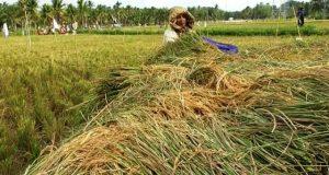 Dinas Pertanian Madina Tinjau hasil Panen Petani