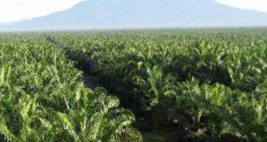 Terkait Pengadaan Kebun Desa PT PSU Dinilai Bodohi Warga Simpang Koje