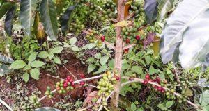 Desa se Kecamatan Ulu Pungkut Minta Bupati Tidak Terbitkan Izin PT. Indo Kopi Angkasa
