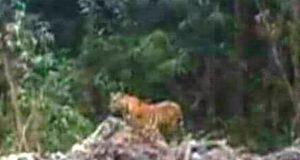 Harimau Masuk Kampung Masih Jadi Ancaman Serius bagi Warga Batang Natal