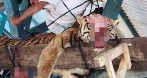 Harimau Sumatera Tewas Tanggung Jawab Siapa