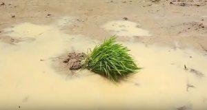 Rawan Terserang Hama, Petani Sumut Enggan Gunakan Benih Padi Hibrida