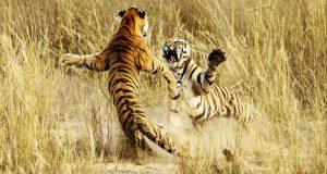Menaklukkan Harimau