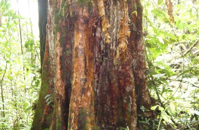 Pohon Hutan Sorik Marapi