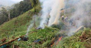 Hasil Pengembangan Polres Madina Temukan 7 hektar Ladang Ganja