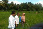 Antisipasi Serangan Hama di Musim Hujan Dinas Pertanian Madina Melakukan Penyemprotan