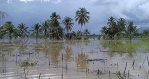 Seluas 2.500 Ha Sawah di Madina Puso Akibat Banjir