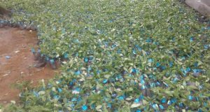 Peningkatan Kualitas Hidup Petani dengan Bertanam Kopi Arabika