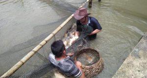 Desa Rumbio Madina Kembangkan Ikan Air Tawar Lewat BUMDes